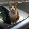 גזזת אצל חתולים ringworm - אבחון וטיפול