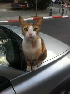 ringworm cat גזזת אצל חתולים