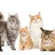אנשים שואלים: אלרגיה לחתולים