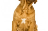 הכירו אותי: dog the bordeaux דוג דה בורדו